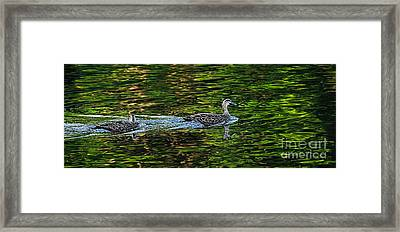 Ducks On Green Reflections - Panorama Framed Print by Kaye Menner