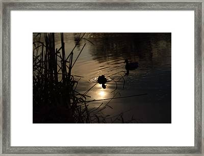 Ducks On The River At Dusk Framed Print by Samantha Morris