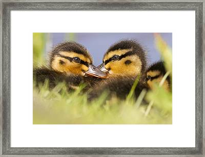 Ducktwins Framed Print by Roeselien Raimond