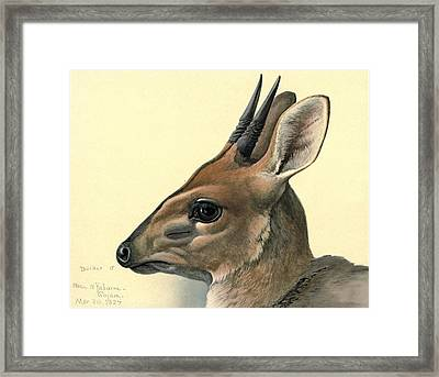 Duiker Framed Print by Louis Agassiz Fuertes