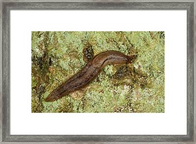 Dusky Arion Slug Framed Print by Nigel Downer