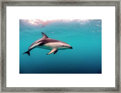Dusky Dolphin (lagenorhynchus Obscurus Framed Print by James White