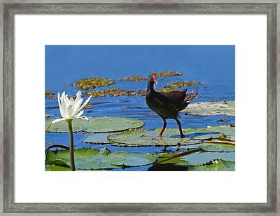 Dusky Moorhen Admiring The Water Lilies Framed Print by Mr Bennett Kent
