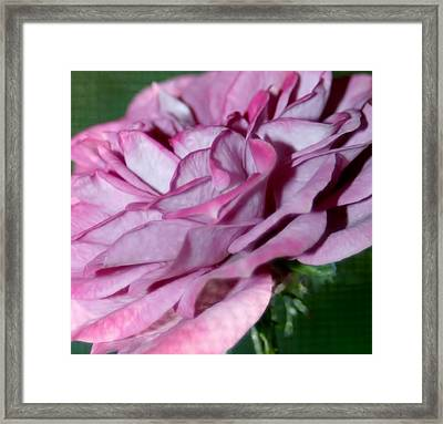 Dusty Rose Framed Print by Barbara S Nickerson