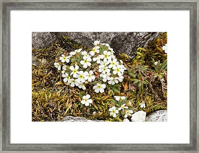 Dwarf Rock Jasmine (androsace Hausmannii) Framed Print by Bob Gibbons