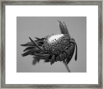 Dying Flower Framed Print by Marcio Faustino