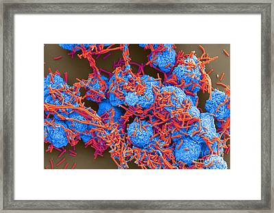 E Coli And Macrophages Sem Framed Print by Science Source