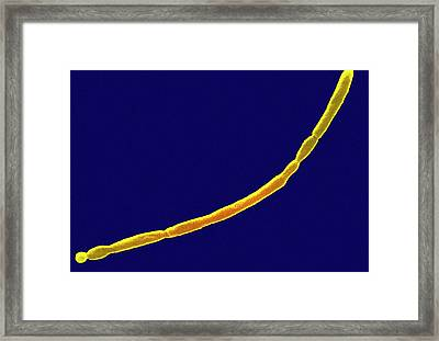 E. Coli Bacteria Framed Print by Ami Images