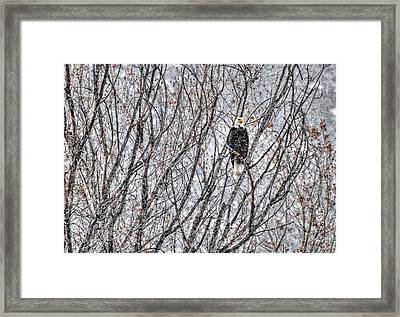 Eagle In Blizzard Framed Print by Britt Runyon