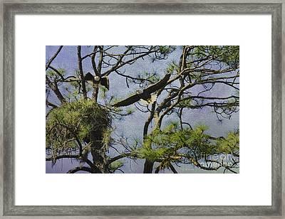 Eagle Pair And Nest Framed Print by Deborah Benoit