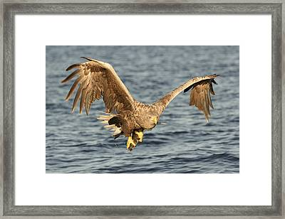 Eagle With Catch Framed Print by Andy Astbury