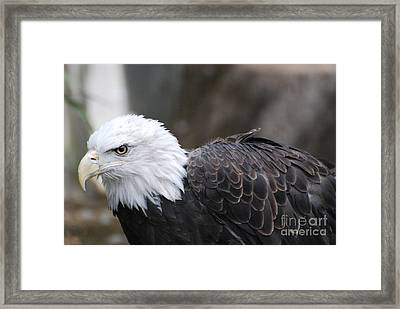 Eagle With Ruffled Feathers Framed Print by DejaVu Designs
