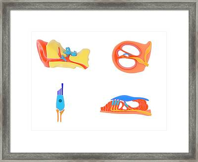 Ear And Cochlear Anatomy Framed Print by Science Photo Library