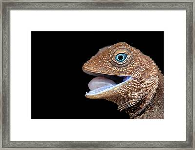 Earless Agamid Lizard (aphaniotis Fusca) Framed Print by Melvyn Yeo