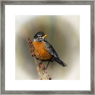 Early Spring Robin Framed Print by Barbara Smith