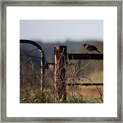 Eary Morning Blackbird Framed Print by Art Block Collections