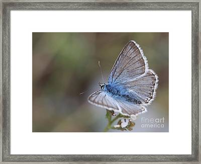 Eastern Baton Blue  Framed Print by Amos Dor