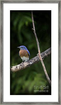 Eastern Blue Delight Framed Print by Cris Hayes