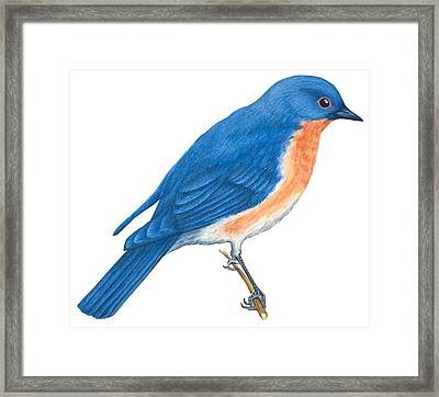 Eastern Bluebird Framed Print by Anonymous