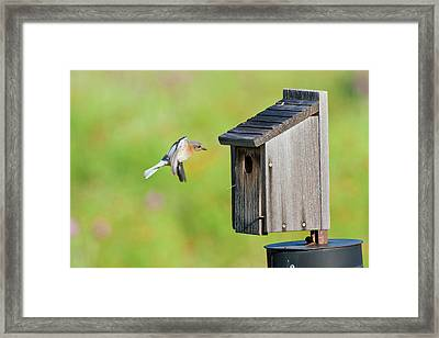 Eastern Bluebird (sialia Sialis Framed Print by Larry Ditto