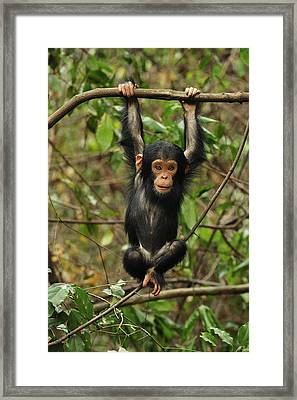 Eastern Chimpanzee Baby Hanging Framed Print by Thomas Marent