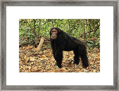 Eastern Chimpanzee Gombe Stream Np Framed Print by Thomas Marent