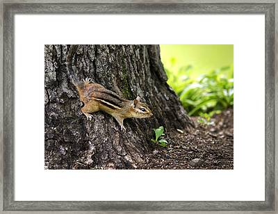 Eastern Chipmunk Clinging To Tree Trunk Framed Print by Christina Rollo