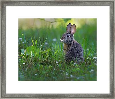 Eastern Cottontail Framed Print by Bill Wakeley