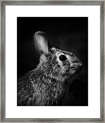Eastern Cottontail Rabbit Portrait Framed Print by Rebecca Sherman