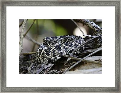 Eastern Diamondback-1 Framed Print by Rudy Umans