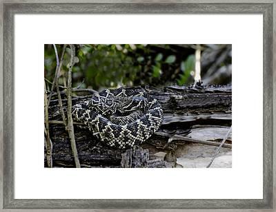 Eastern Diamondback-2 Framed Print by Rudy Umans