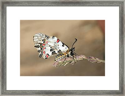 Eastern Festoon Butterfly Framed Print by Bob Gibbons