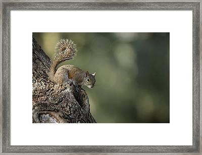 Eastern Gray Squirrel, Or Grey Squirrel Framed Print by Pete Oxford