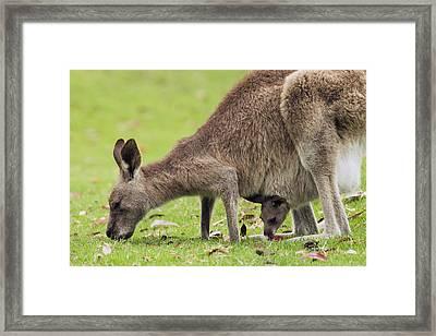 Eastern Grey Kangaroo And Joey In Pouch Framed Print by Sebastian Kennerknecht