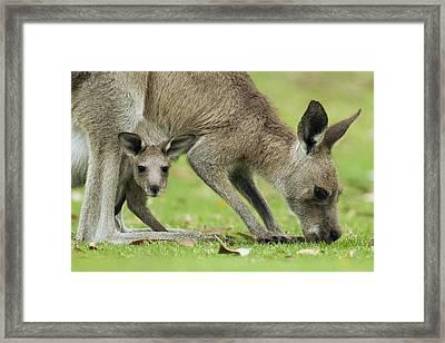 Eastern Grey Kangaroo Mother Grazing Framed Print by Sebastian Kennerknecht