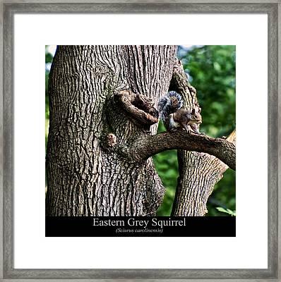 Eastern Grey Squirrel Framed Print by Chris Flees
