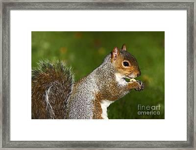 Eastern Grey Squirrel Framed Print by Craig B