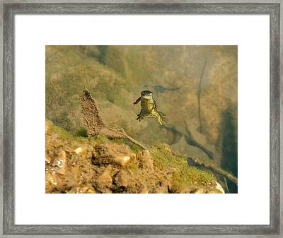 Eastern Newt In A Shallow Pool Of Water Framed Print by Chris Flees