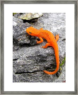 Orange Julius The Eastern Newt Framed Print by Lori Pessin Lafargue