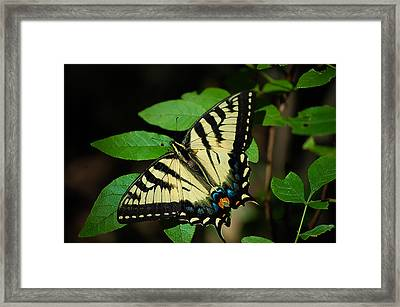 Eastern Tiger Swallowtail Framed Print by Bianca Nadeau