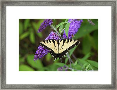 Eastern Tiger Swallowtail Butterfly Framed Print by Richard and Susan Day
