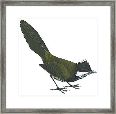 Eastern Whipbird Framed Print by Anonymous