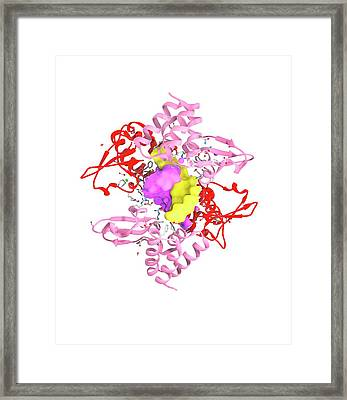 Ebola Viral Protein 35 And Rna Framed Print by Ramon Andrade 3dciencia