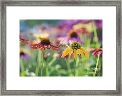 Echinacea Cheyenne Spirit Framed Print by Tim Gainey