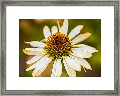 Echinacea Fading Beauty Framed Print by Omaste Witkowski