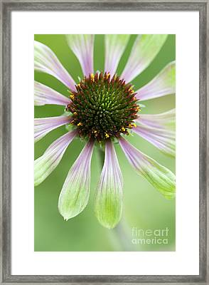 Echinacea Green Envy Flower Framed Print by Tim Gainey