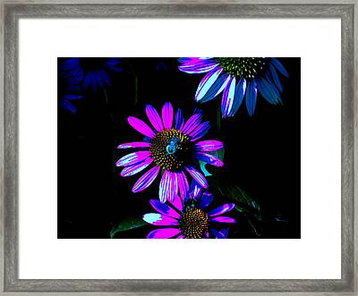 Echinacea Hot Blue Framed Print by Karla Ricker