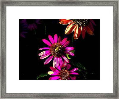 Echinacea In Hot Pink Framed Print by Karla Ricker
