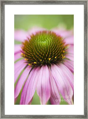 Echinacea Purpurea Rubinglow Coneflower Framed Print by Tim Gainey