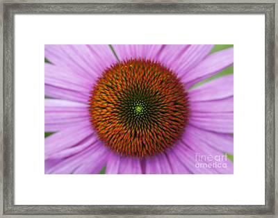 Echinacea Purpurea Rubinglow Flowers Framed Print by Tim Gainey